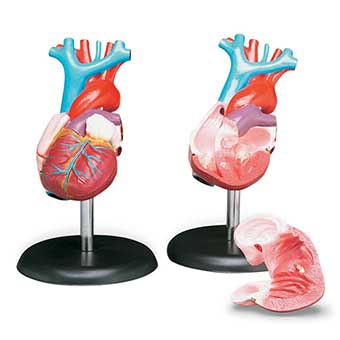 Anatomical Budget Life-Size Heart Model