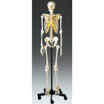 Adult-Skeleton-01.jpg