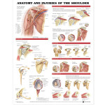 Anatomy-and-Injuries-of-the-Shoulder-Anatomical-Chart-0-Large.jpg