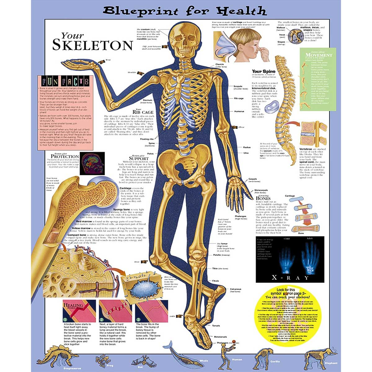Blueprint for health your skeleton anatomical chart 20 x 26 anatomical chart company blueprint malvernweather Gallery