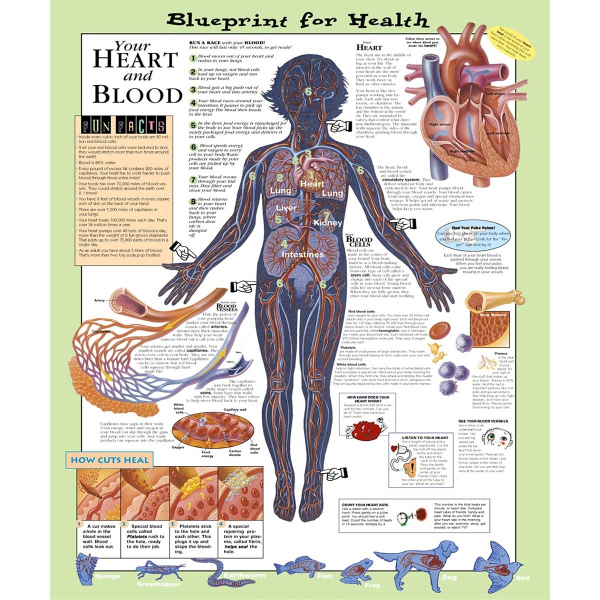 Blueprint for health your heart and blood chart 20 x 26 malvernweather Images