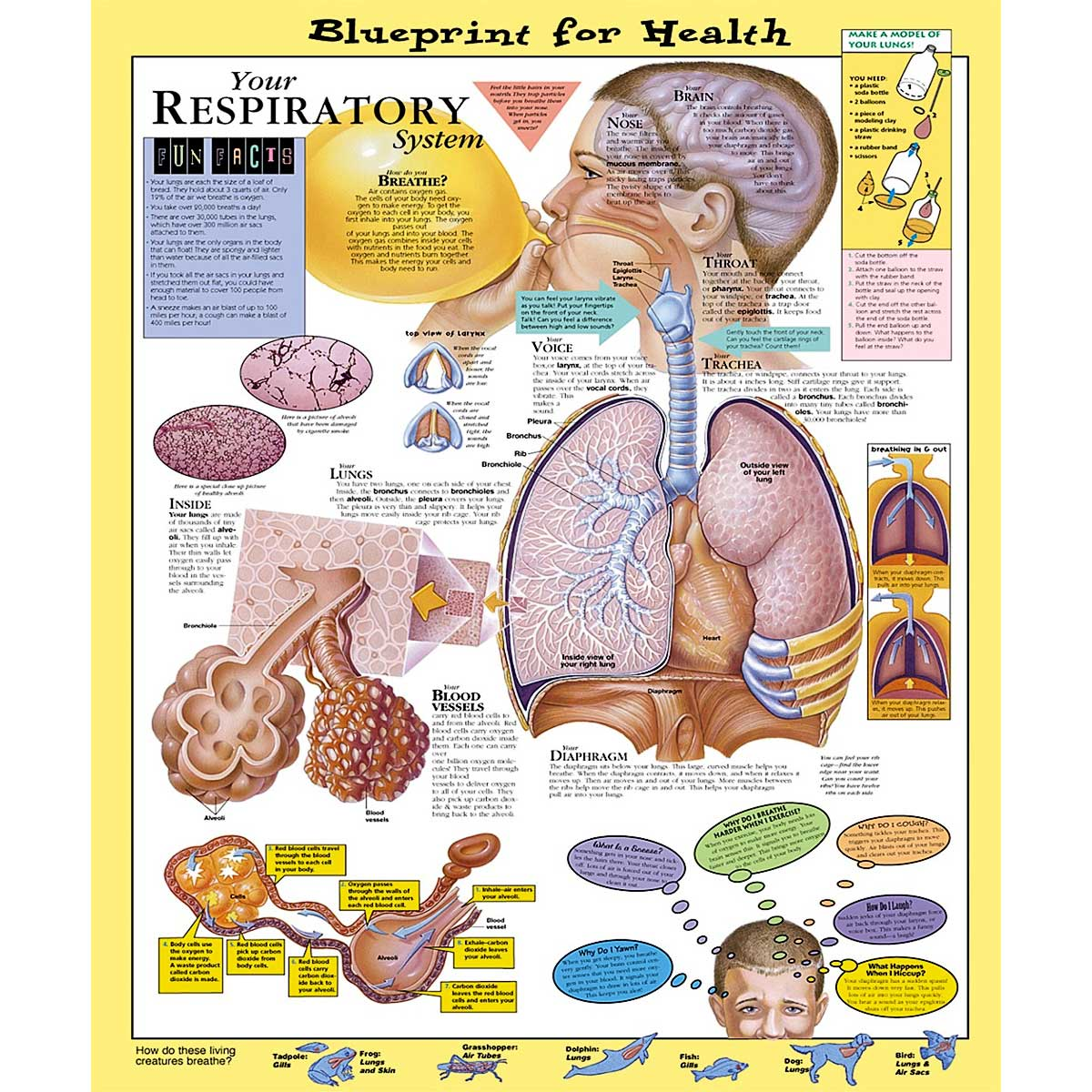 Blueprint for health your respiratory system chart 20 x 26 anatomical chart company blueprint for health malvernweather Gallery
