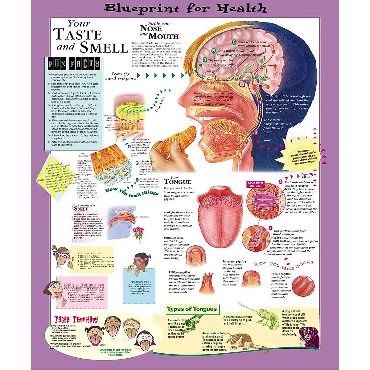 Blueprint for health your taste and smell chart 20 x 26 anatomical chart company blueprint for health malvernweather Gallery
