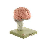 Brain Demonstration Model.jpg