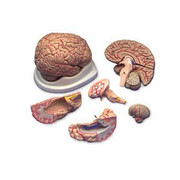 Budget Brain With Arteries Model.jpg
