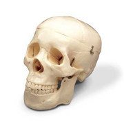 Budget Life-Size Skull (2nd Quality).jpg