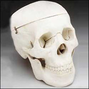 Budget Life-Size Skull (4th Quality).jpg