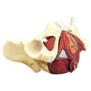 Composite-Pelvis-and-Pelvic-Floor-01.jpg