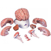 Deluxe-Brain-With-Arteries-01.jpg