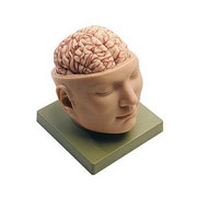 Deluxe Head With Brain Model.jpg