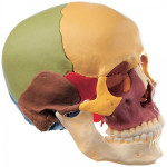 Disarticulated-Colored-Skull-01.jpg