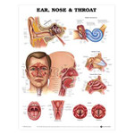 Ear, Nose and Throat Anatomical Chart.jpg