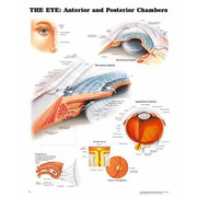 Eye Anterior and Poster Chambers Anatomical Chart.jpg