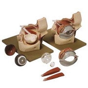 Eyeball-Orbit-Model-0.jpg