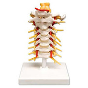 Flexible Cervical Vertebral Column.jpg