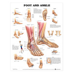 Foot and Ankle Anatomical Chart.jpg