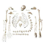 Full One-Half Disarticulated Budget Skeleton With Skull.jpg