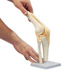 Functional Knee Joint Model.jpg