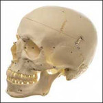 Human Skull With Numbers.jpg