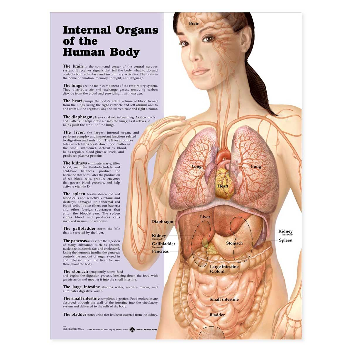 Internal Organs of the Human Body Anatomical Chart 20\'\' x 26\'\'