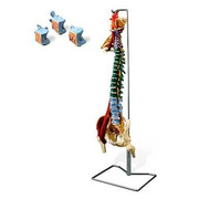 Muscle Spine With Disorders with Stand.jpg