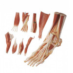 Muscles-of-the-Foot-Model600.jpg