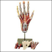 Muscles of the Hand Model.jpg
