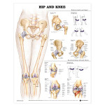 Newly Updated! Hip and Knee 2nd Edition Anatomical Chart.jpg