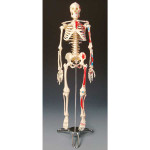 Painted-&-Numbered-Big-Tim-Skeleton-01.jpg