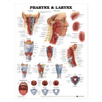 Pharynx and Larynx Anatomical Chart.jpg
