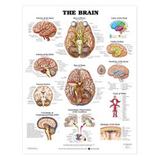 The Brain Anatomical Chart.jpg