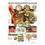 The Ear - Organs of Hearing and Balance Anatomical Chart.jpg