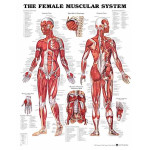 The Female Muscular System Anatomical Chart.jpg