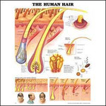 The Human Hair Anatomical Chart.jpg