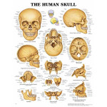 The Human Skull Anatomical Chart.jpg