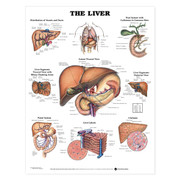 The Liver Anatomical Chart.jpg