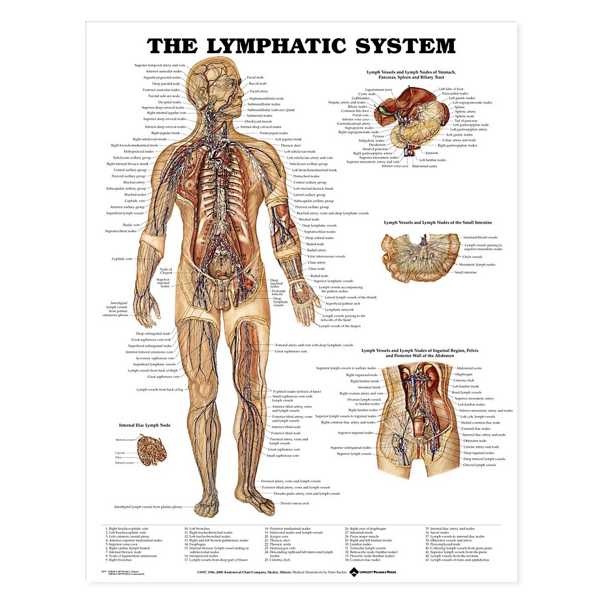 The Lymphatic System Anatomical Chart 20\'\' x 26\'\'