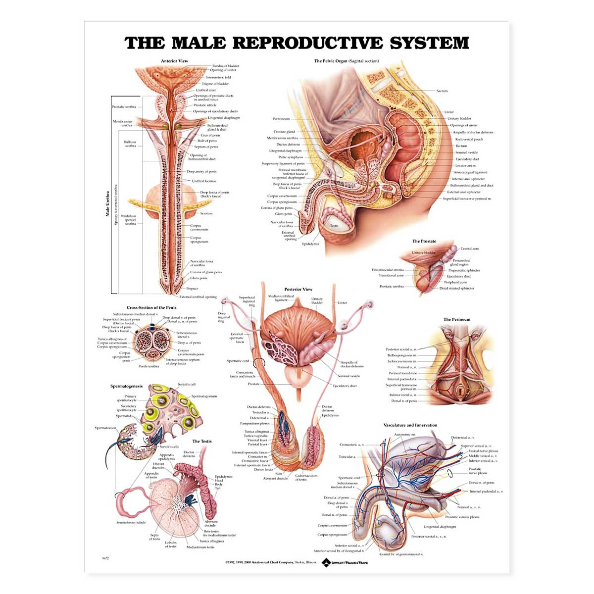The Male Reproductive System Anatomical Chart 20'' x 26'' | 1200 x 1200 jpeg 137kB