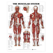 The-Muscular-System-0-Large.jpg