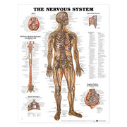 The Nervous System Anatomical Chart.jpg