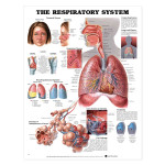 The Respiratory System Anatomical Chart.jpg