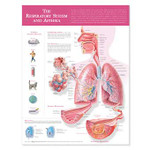 The Respiratory System and Asthma Anatomical Chart.jpg