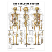 The Skeletal System Anatomical Chart.jpg