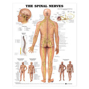 The-Spinal-Nerves-Anatomical-Chart-01.jpg