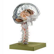 Transparent Brain Model.jpg